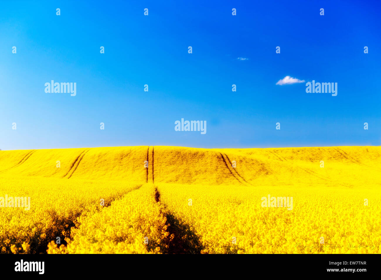 Yellow rapeseed field and blue sky, UK Stock Photo