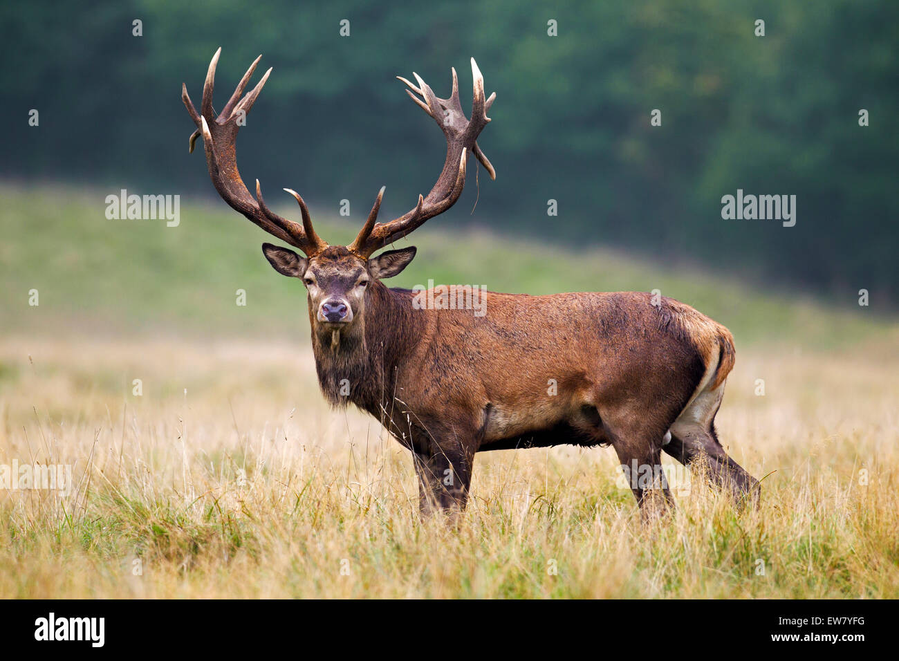 Red deer (Cervus elaphus) stag with huge antlers in grassland at forest's edge during the rut in autumn Stock Photo