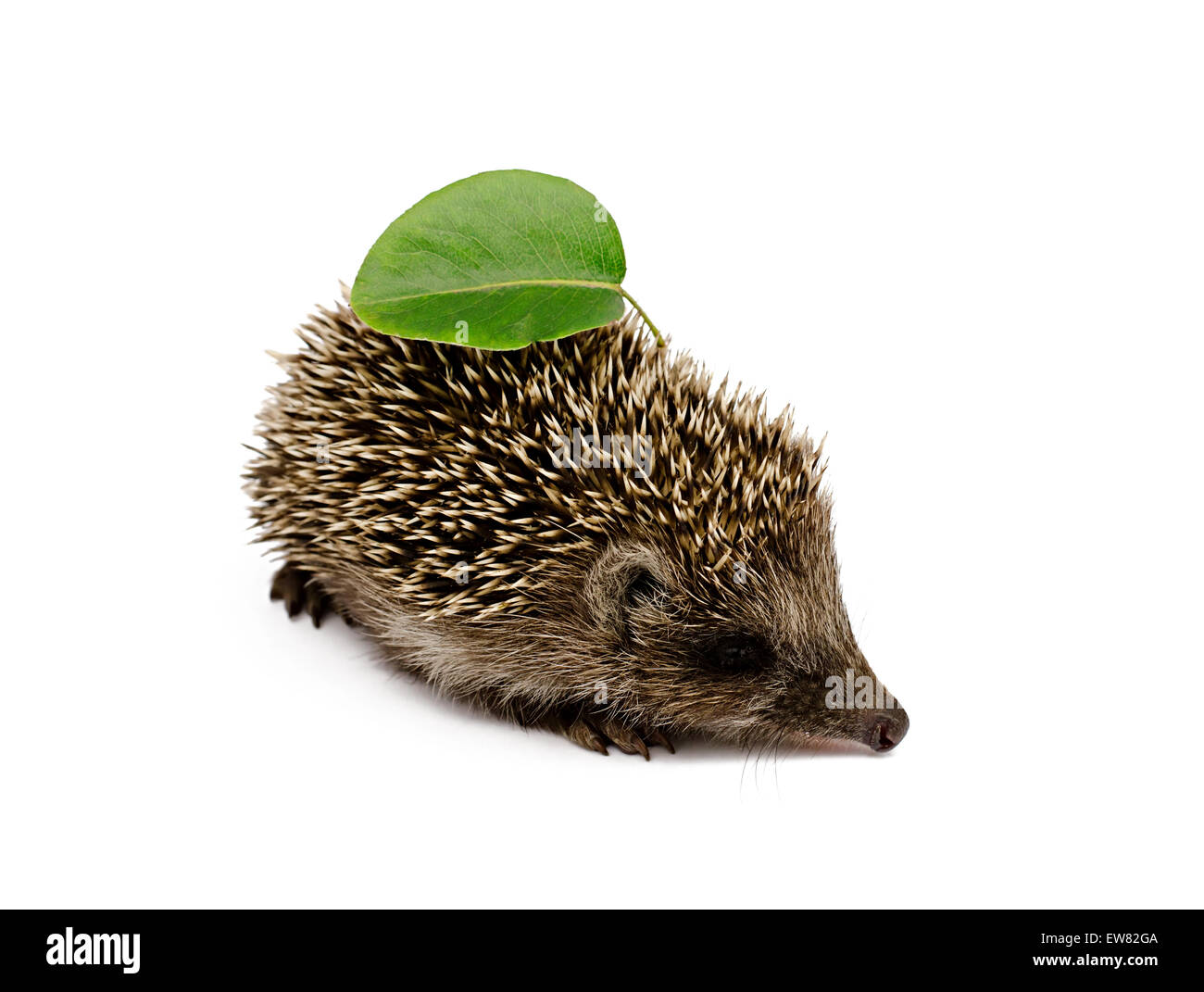 hedgehog with leaves on a white background - Stock Image