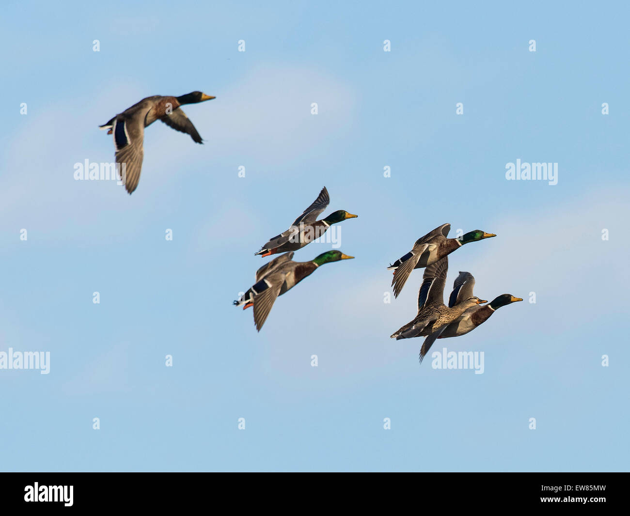 A flying flock of Mallard Ducks - Stock Image