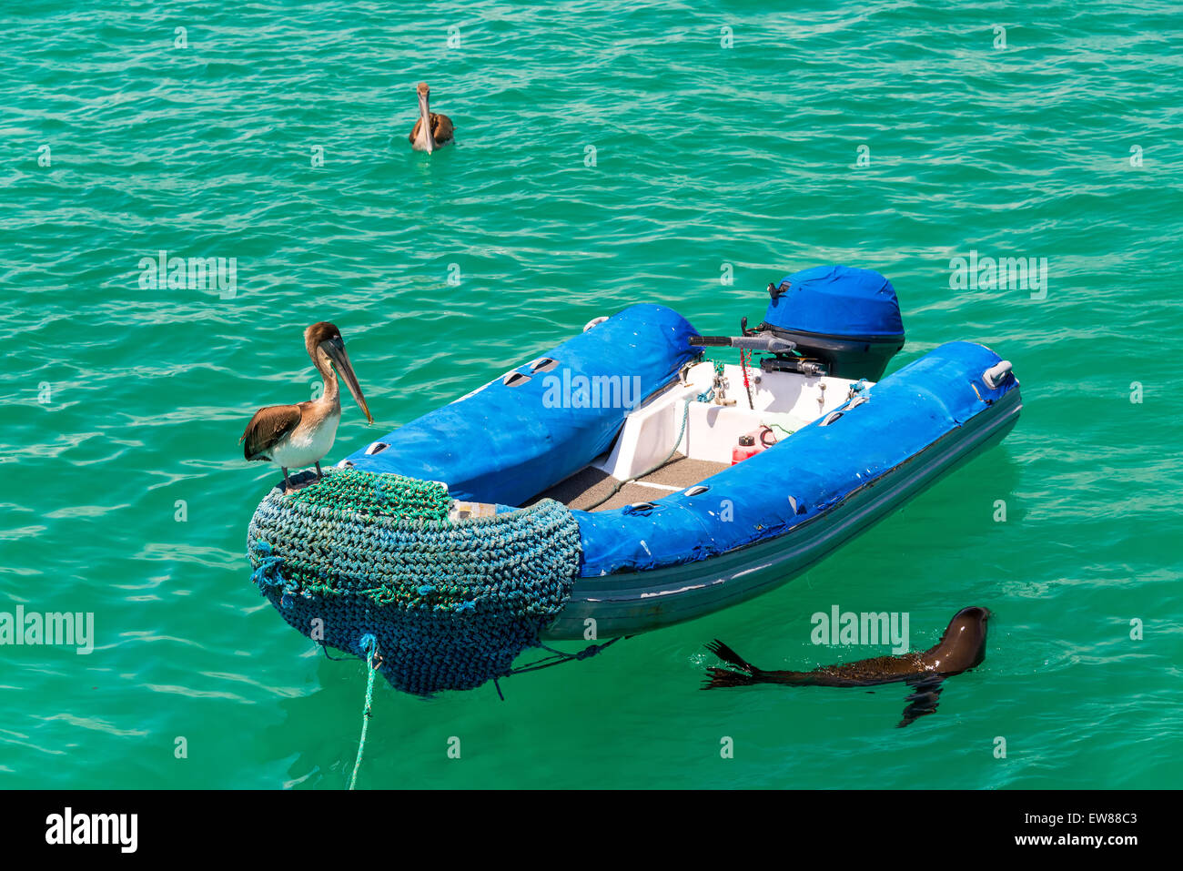 Two pelicans and a sea lion around a dinghy at Isabela Island in the Galapagos Islands in Ecuador - Stock Image