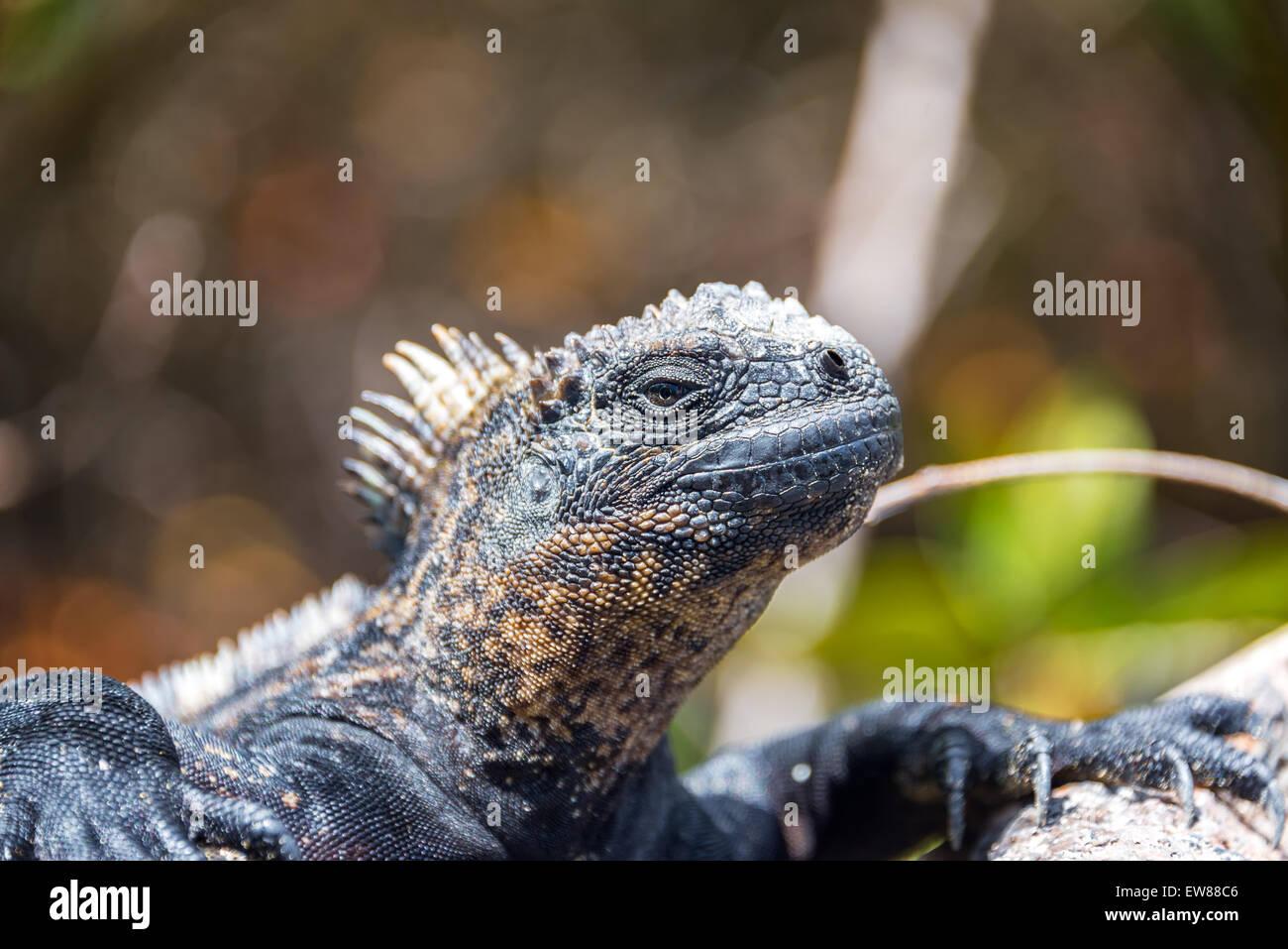 Marine iguana relaxing on Isabela Island in the Galapagos - Stock Image