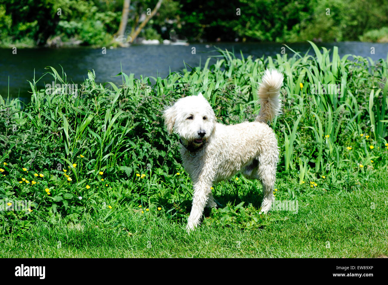Australian Labradoodle walking in the park.Labradoodle is a crossbred dog created by crossing the Labrador Retriever Stock Photo