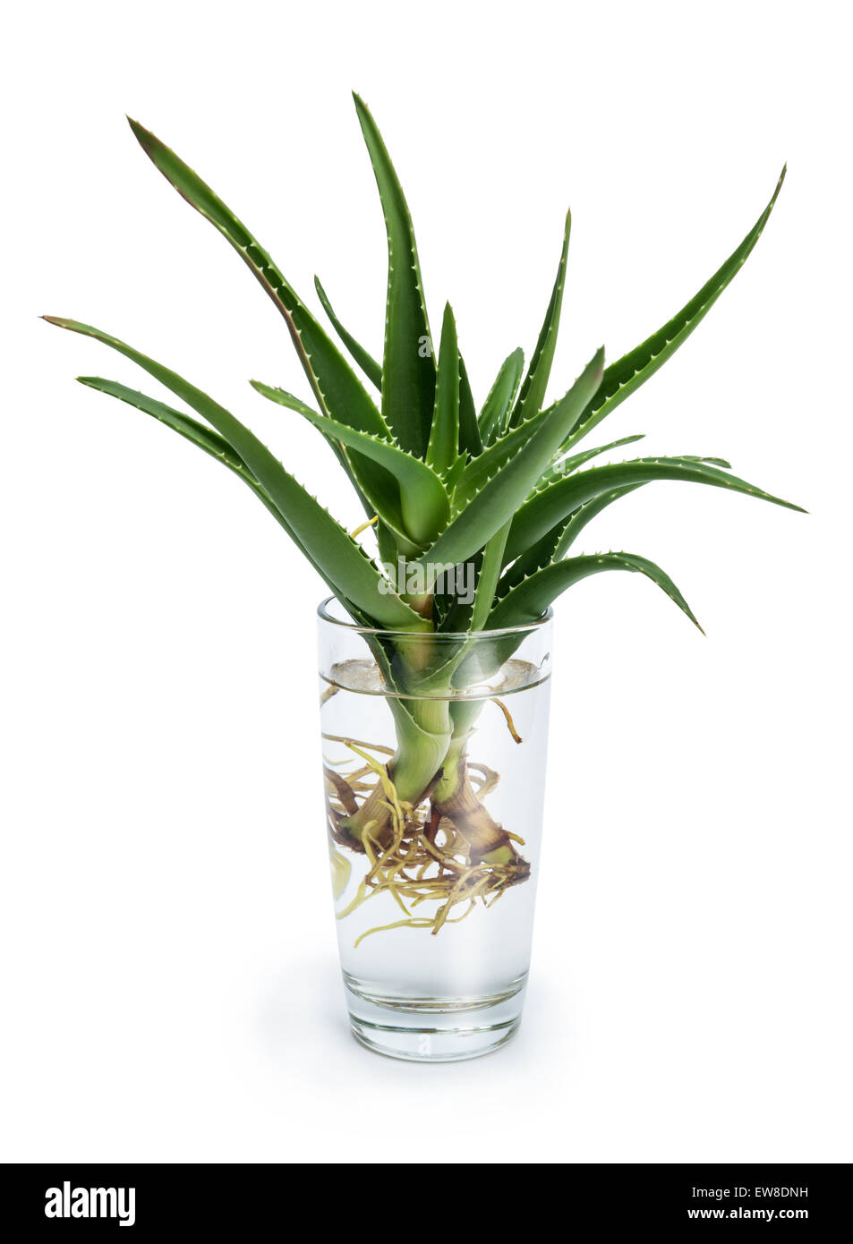 Aloe vera is a stemless succulent plan. Sprouting roots in a glass of water - Stock Image