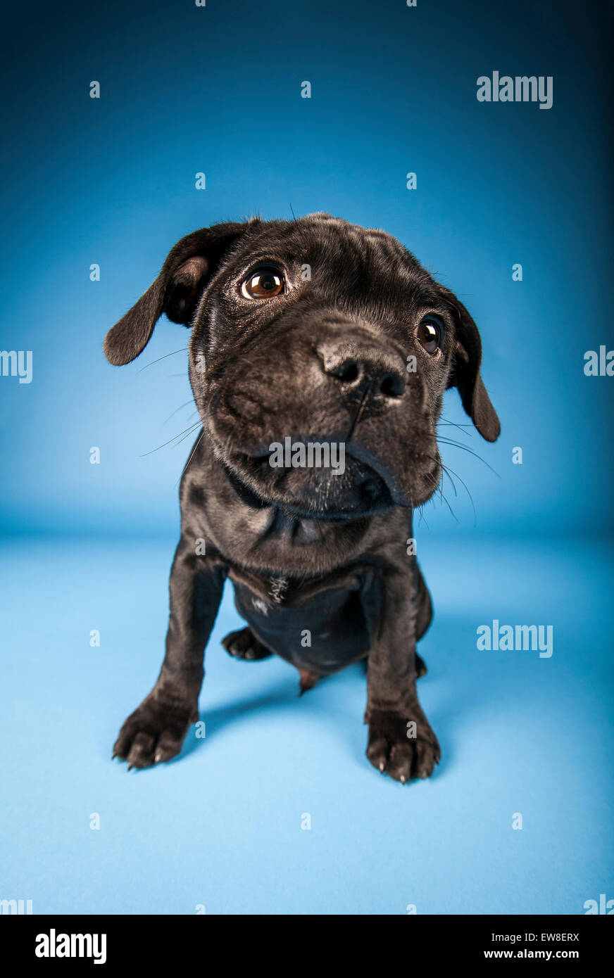 Black Staffordshire Bull Terrier puppy on blue background - Stock Image