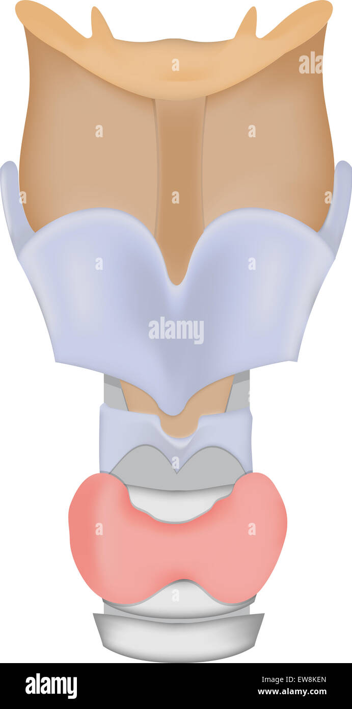 Larynx and Thyroid Gland - Stock Image