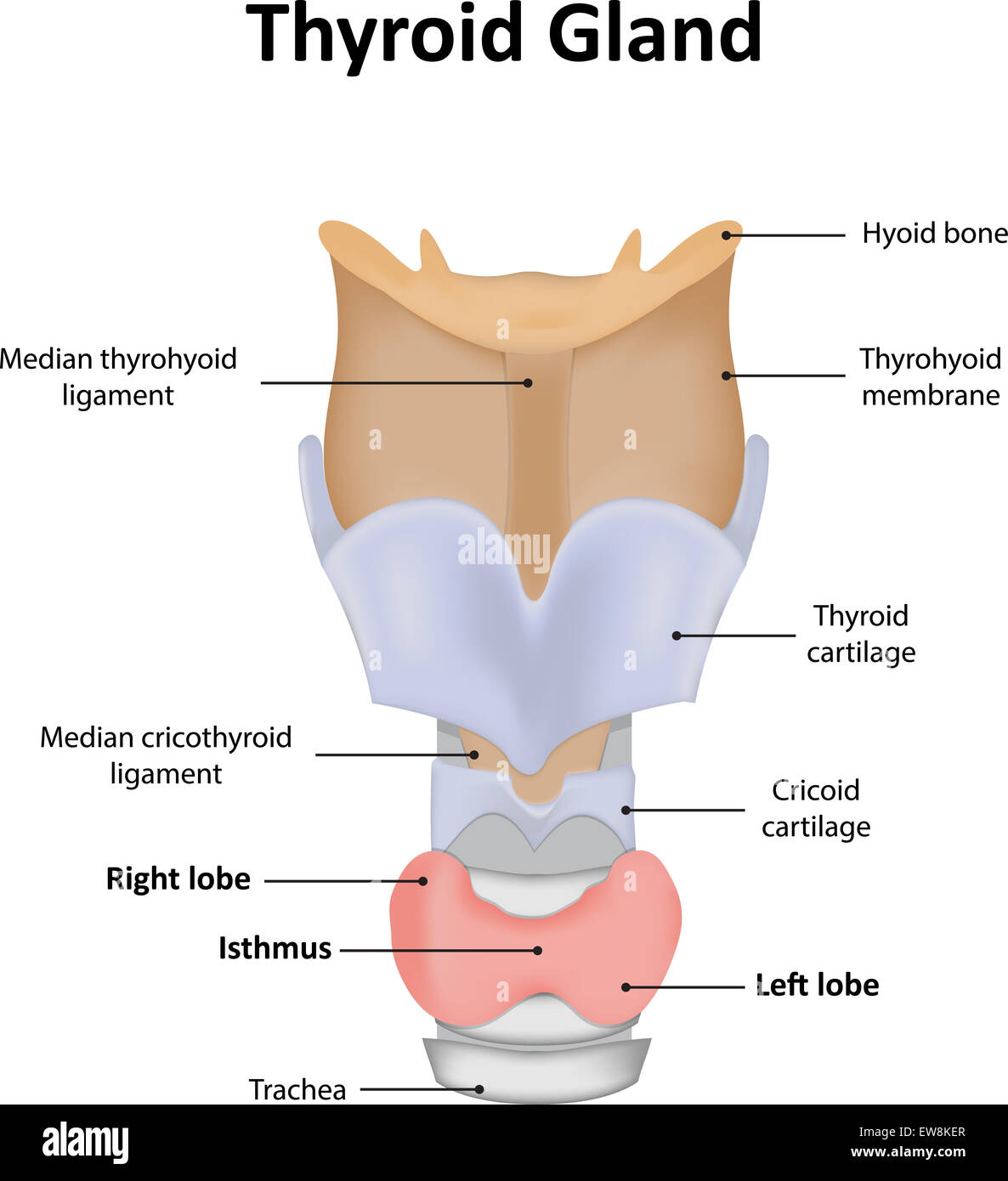 Thyroid Gland Stock Photo Alamy