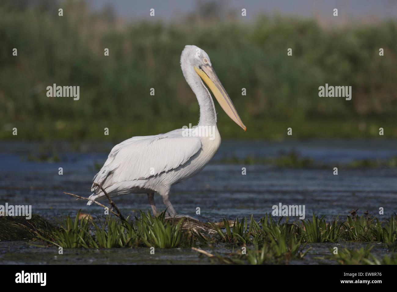 Dalmatian pelican, Pelecanus crispus, single bird by water, Romania, May 2015 - Stock Image