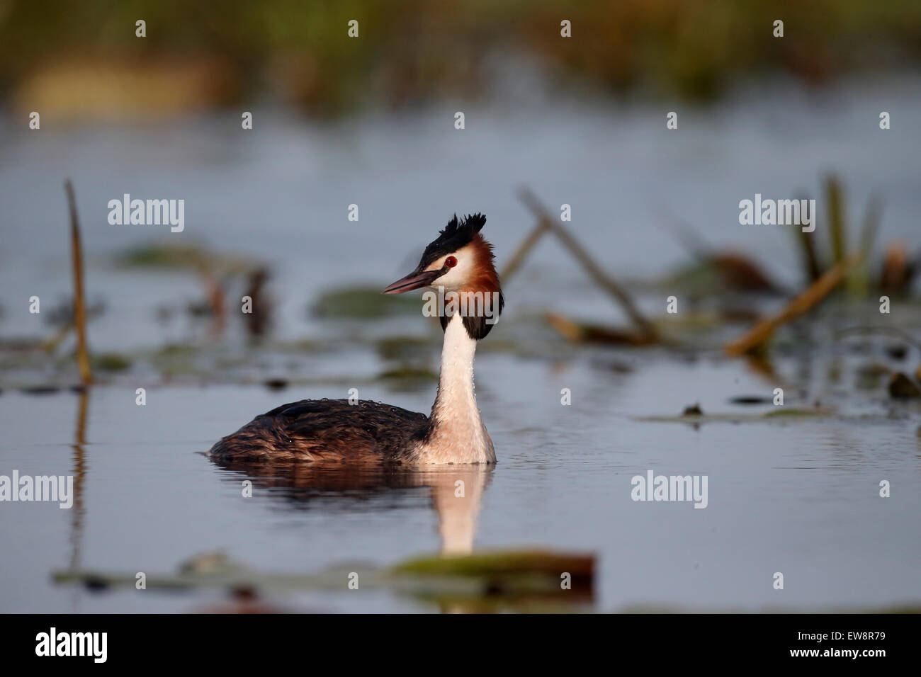 Great-crested grebe, Podiceps cristatus, single bird on water, Romania, May 2015 - Stock Image