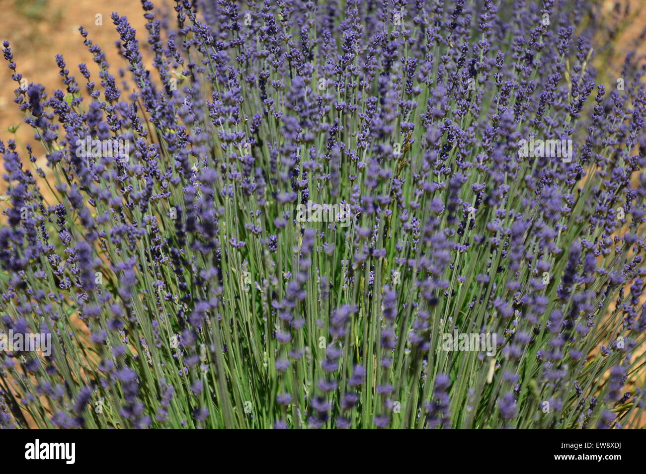 Lavenders in Provence, Pays de Sault, South of France - Stock Image