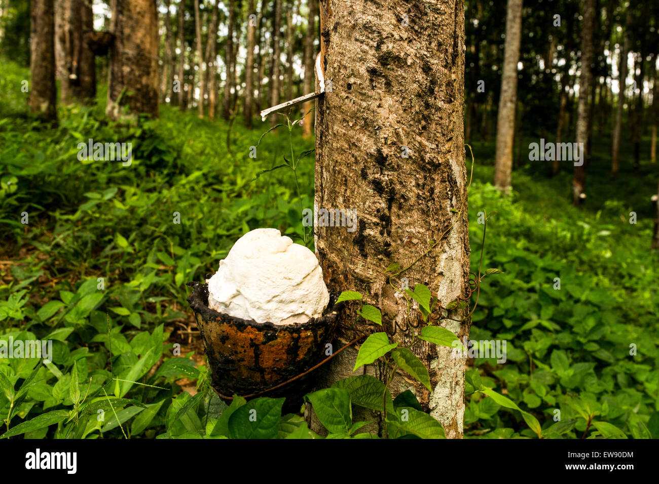 A tapped Pará rubber tree (Hevea brasiliensis) dripping latex into a cup for processing into natural rubber. Stock Photo