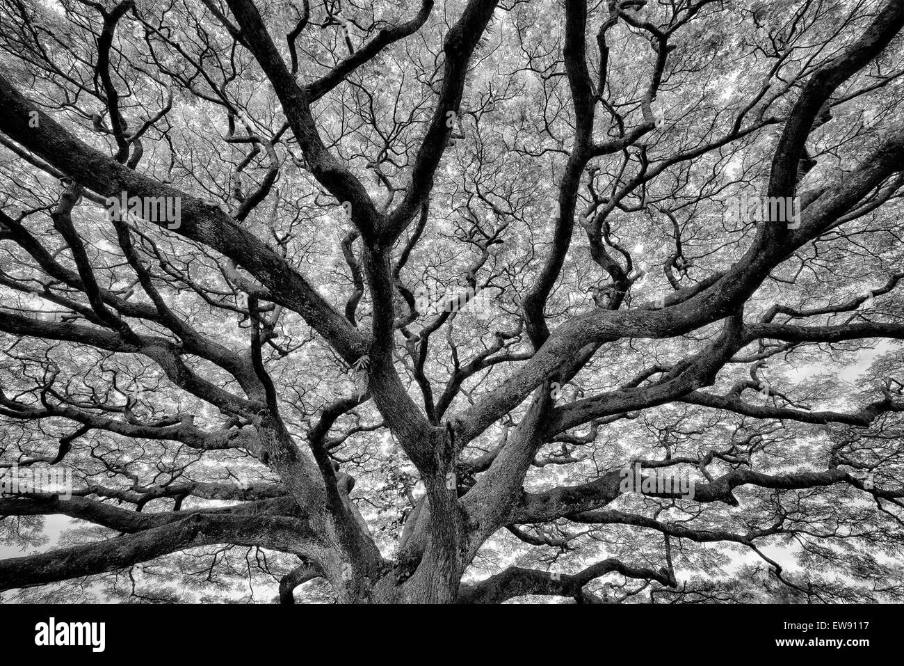 Large wildly branching tree. Hawaii, The Big Island - Stock Image