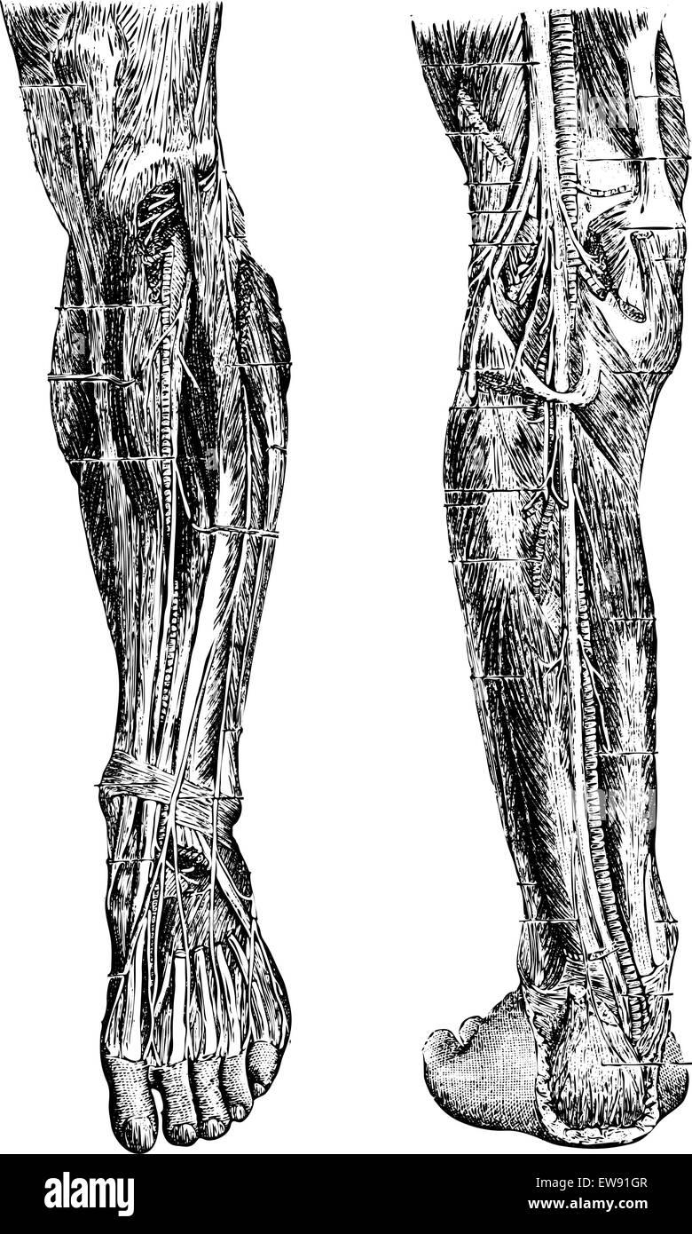 Human Leg, showing deep anterior region (left), and deep posterior region (right), vintage engraved illustration. - Stock Vector