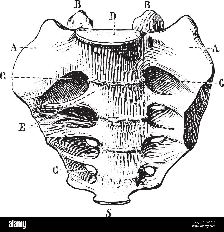 Wunderbar Sacrum Lage Galerie - Menschliche Anatomie Bilder ...