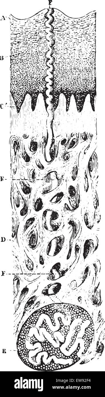 Vertical section of the skin.(Microscope view), vintage engraved illustration. Usual Medicine Dictionary by Dr Labarthe - Stock Image