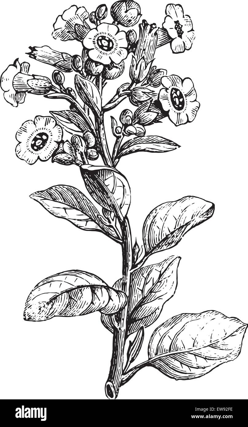 Rustica tobacco or Nicotiana rustica or Mapacho or Thuoc lao, vintage engraved illustration. Usual Medicine Dictionary - Stock Vector