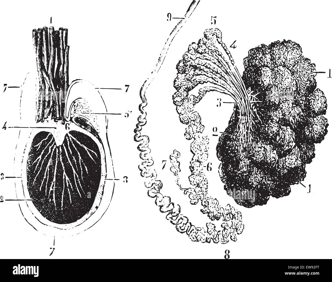 Cross section of the testis, epididymis and tunica vaginalis ...