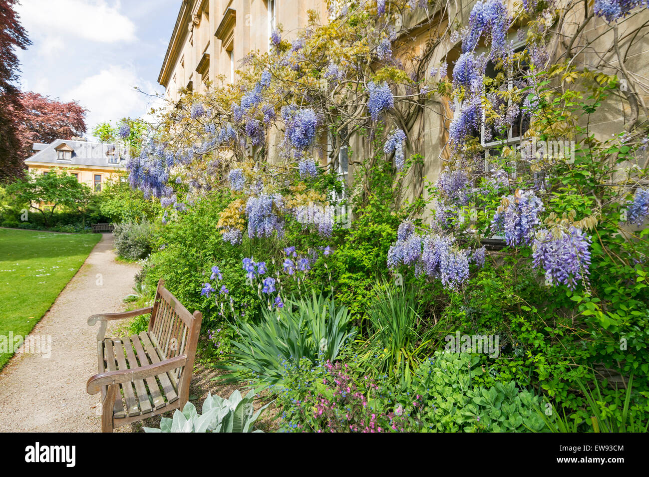 OXFORD CITY WISTERIA COVERED WALL IN SPRINGTIME AT CORPUS CHRISTI COLLEGE - Stock Image