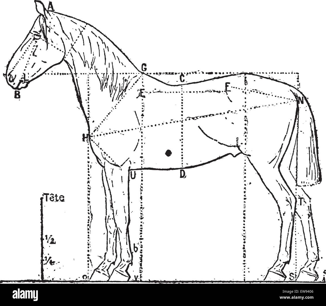 Horse Anatomy Illustration Stock Photos & Horse Anatomy Illustration ...