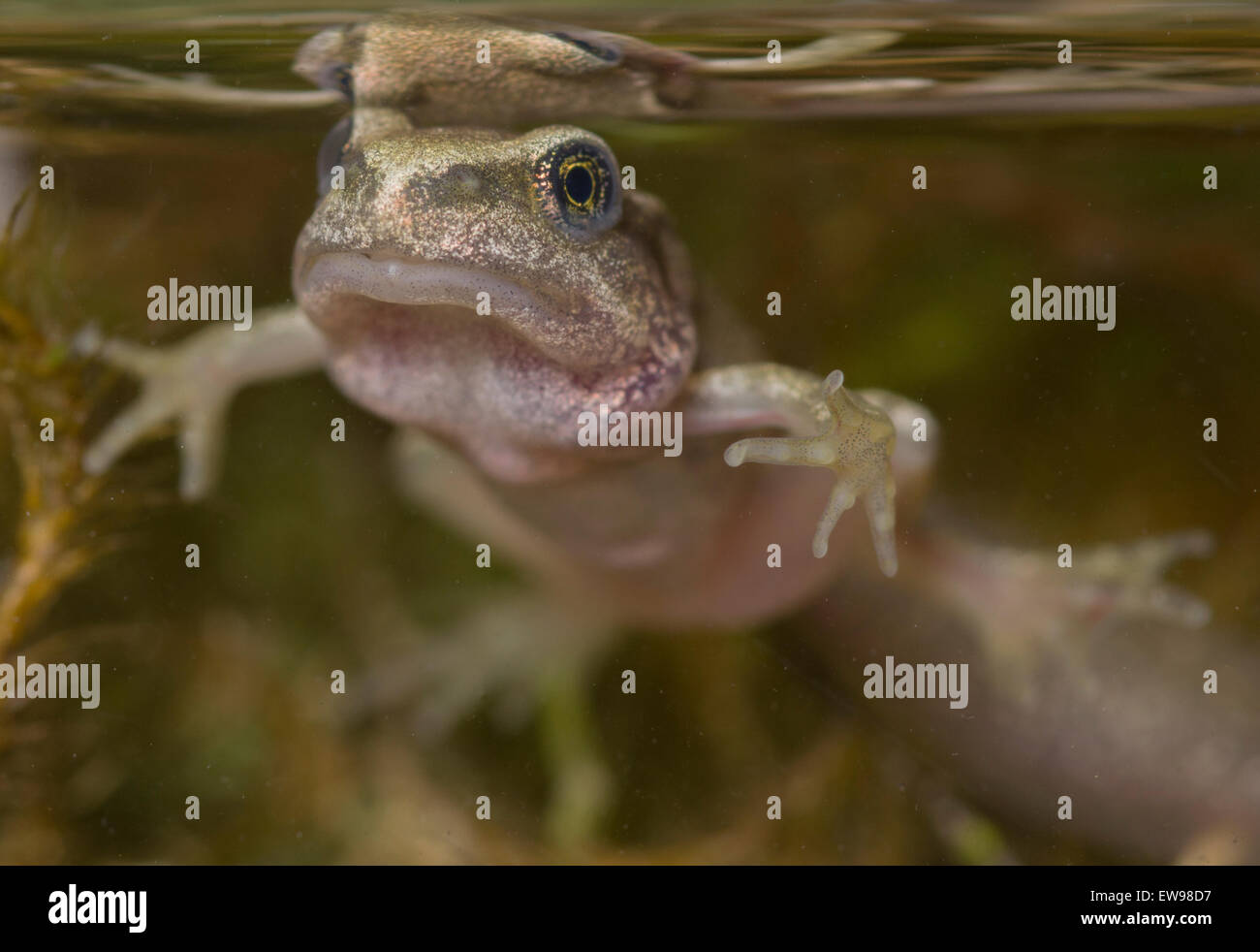 Common frog tadpole froglet Rana temporaria taken in photographic aquarium - Stock Image