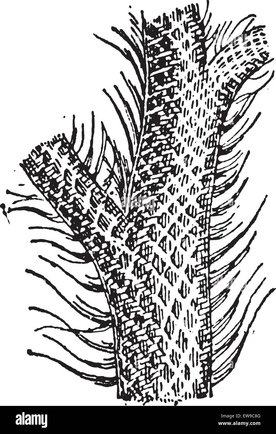 Lepidodendron, showing trunk and grass-like leaf blades, vintage engraved illustration. Dictionary of Words and Stock Vector
