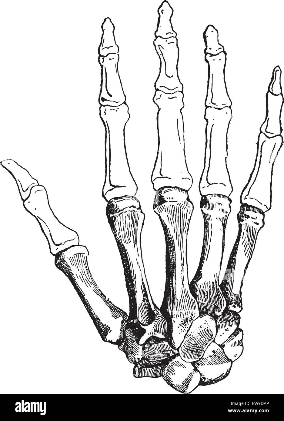 Bones of a Human Hand (dorsal side), showing (bottom to top) Carpals, Metacarpals, Proximal Phalanges, Intermediate - Stock Image