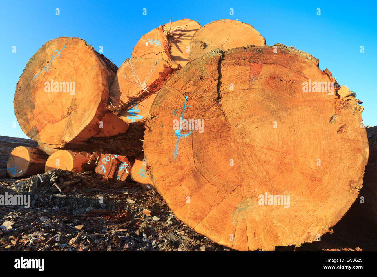 Large sized old growth logs in log sorting yard, Nanaimo, British Columbia - Stock Image