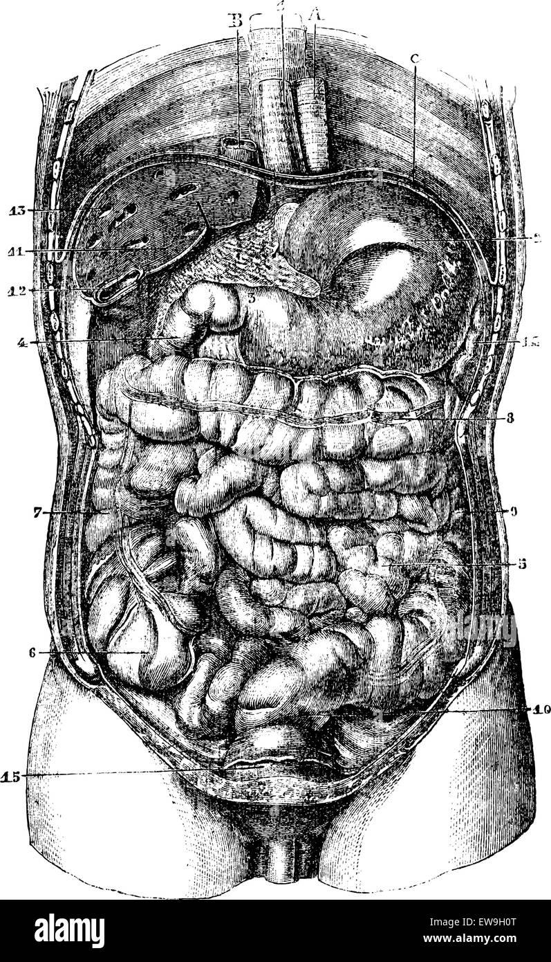 1 Esophagus 2 Stomach 3orifice Pyloric Stomach 4 Duodenum 5