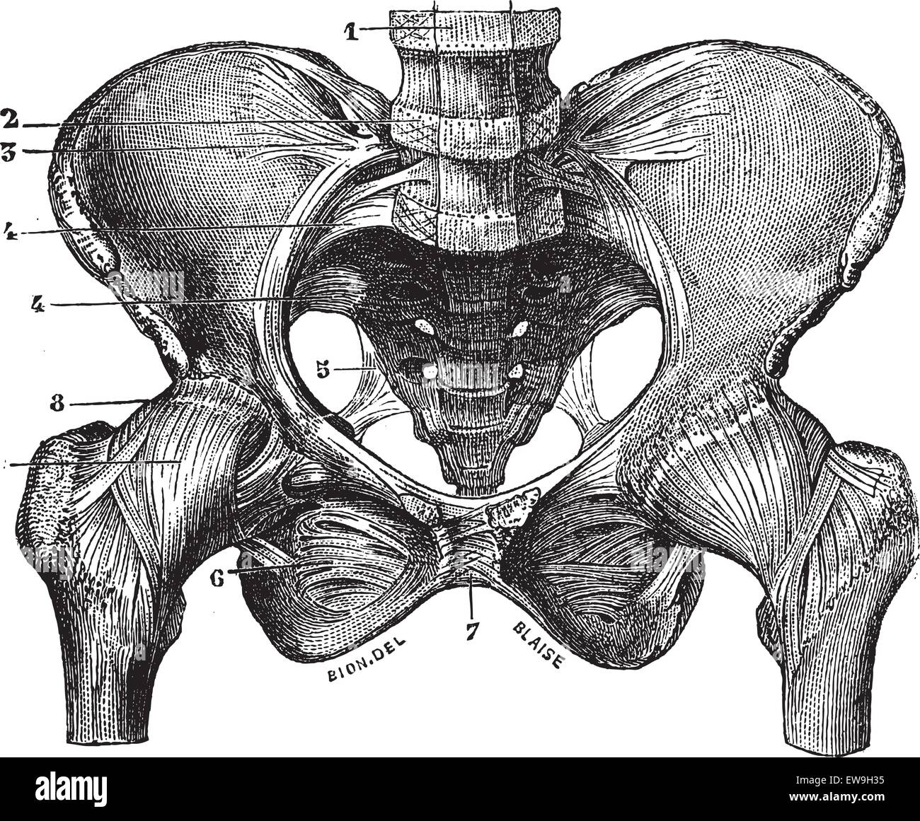 Fig. 160. Basin (squeleite with ligaments) saw its front face, vintage engraved illustration. Magasin Pittoresque - Stock Image