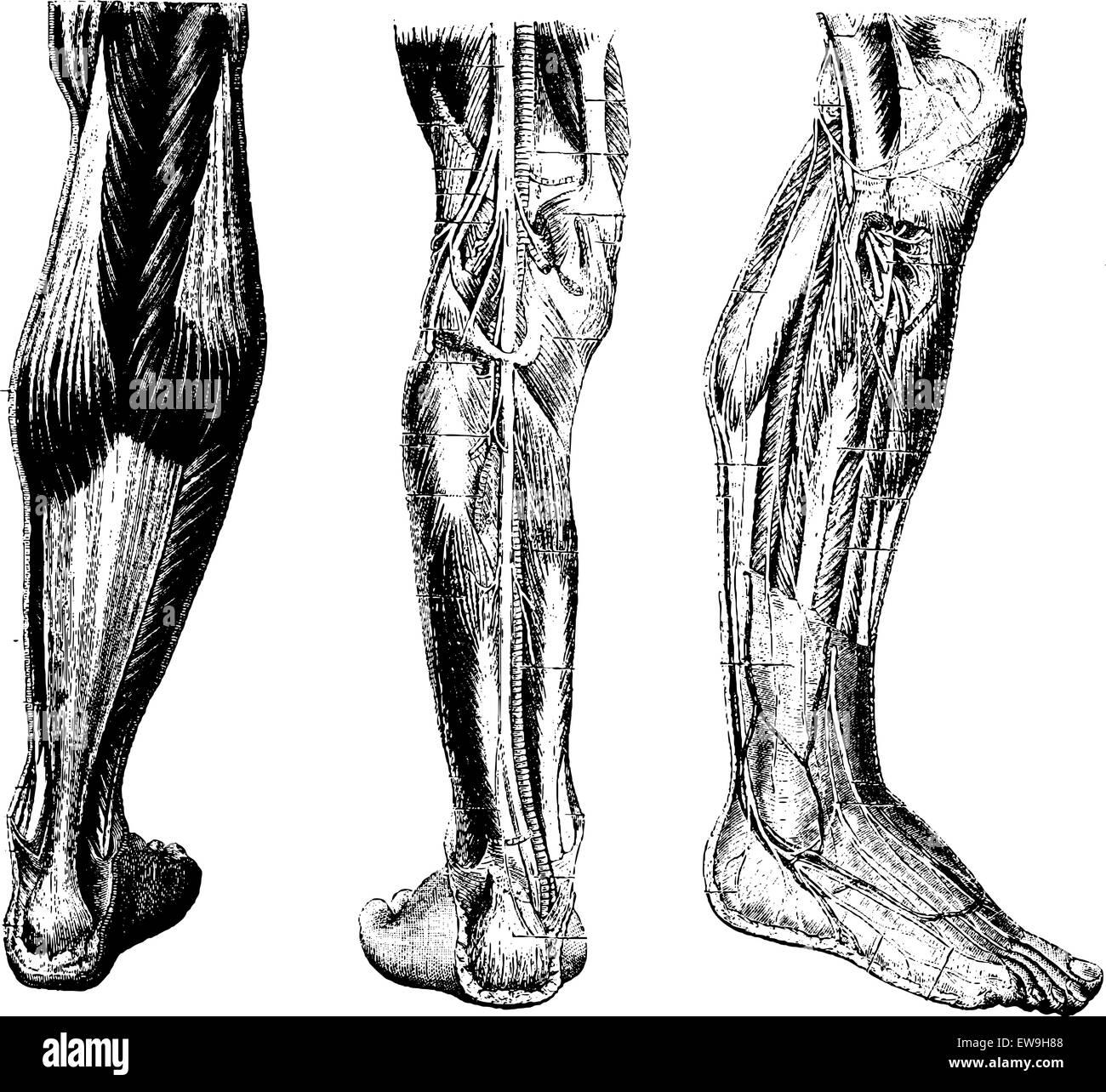 Human Leg, showing posterior surface (left), deep posterior region (middle), and deep anterior region(right), vintage - Stock Vector