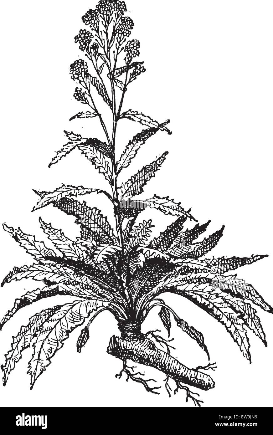 Old engraved illustration of Horseradish or Armoracia rusticana or  Cochlearia armoracia isolated on a white background. - Stock Image