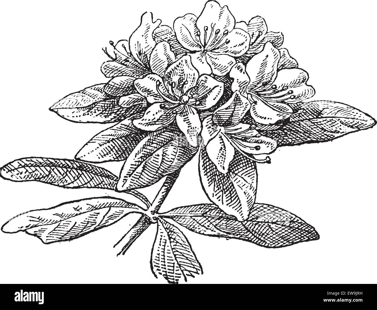 Rhododendron, vintage engraved illustration. Dictionary of words and things - Larive and Fleury - 1895. - Stock Vector