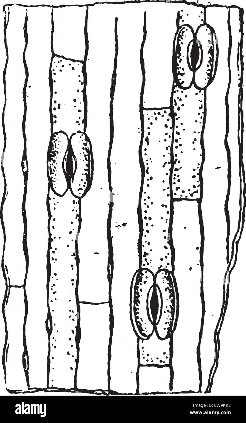 Stomata or Stoma or Stomate, vintage engraved illustration. Dictionary of words and things - Larive and Fleury  - Stock Image