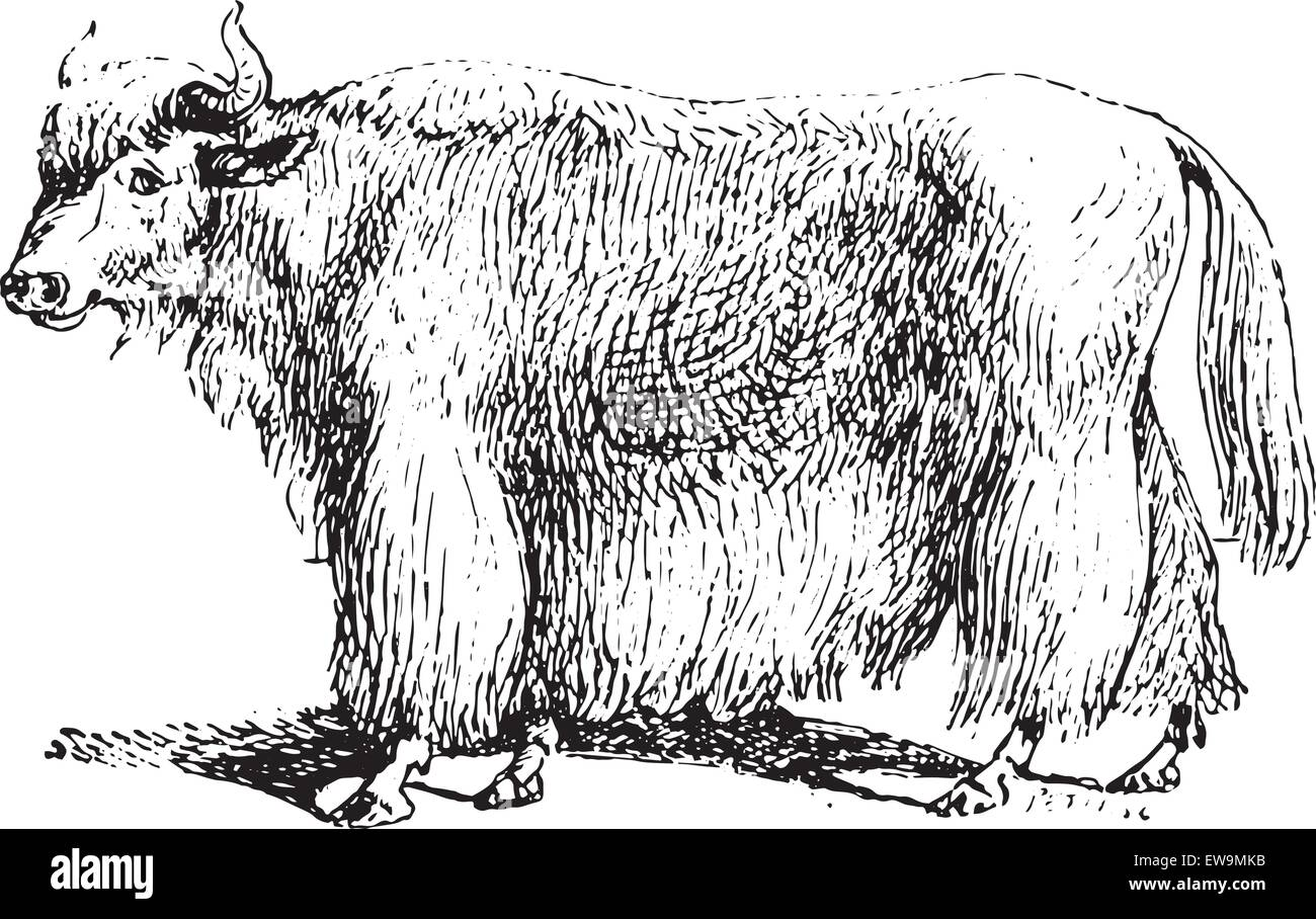 Yak, vintage engraved illustration. Dictionary of words and things - Larive and Fleury - 1895. - Stock Vector