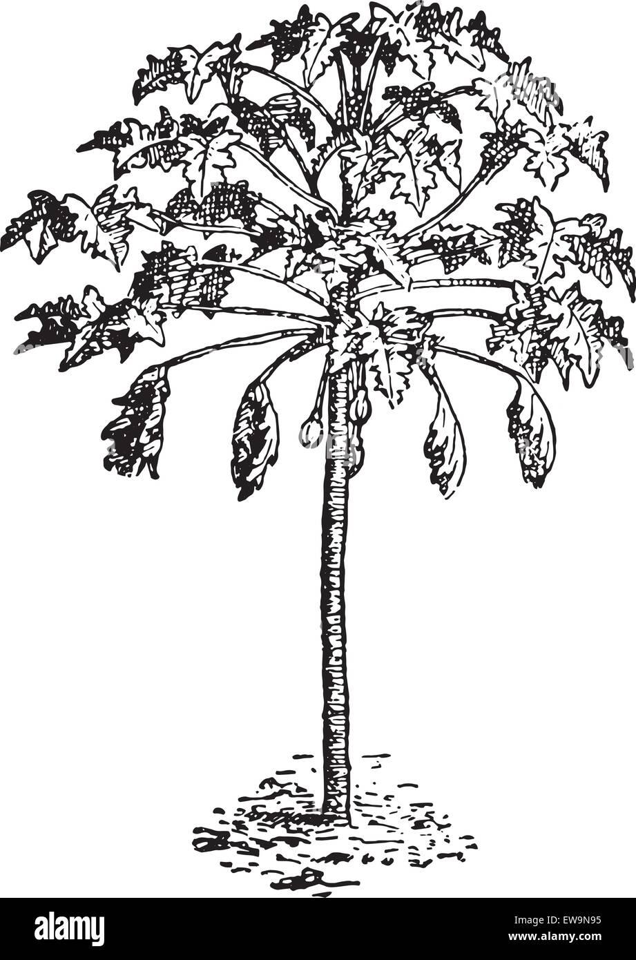 Papaya Tree Images Clipart