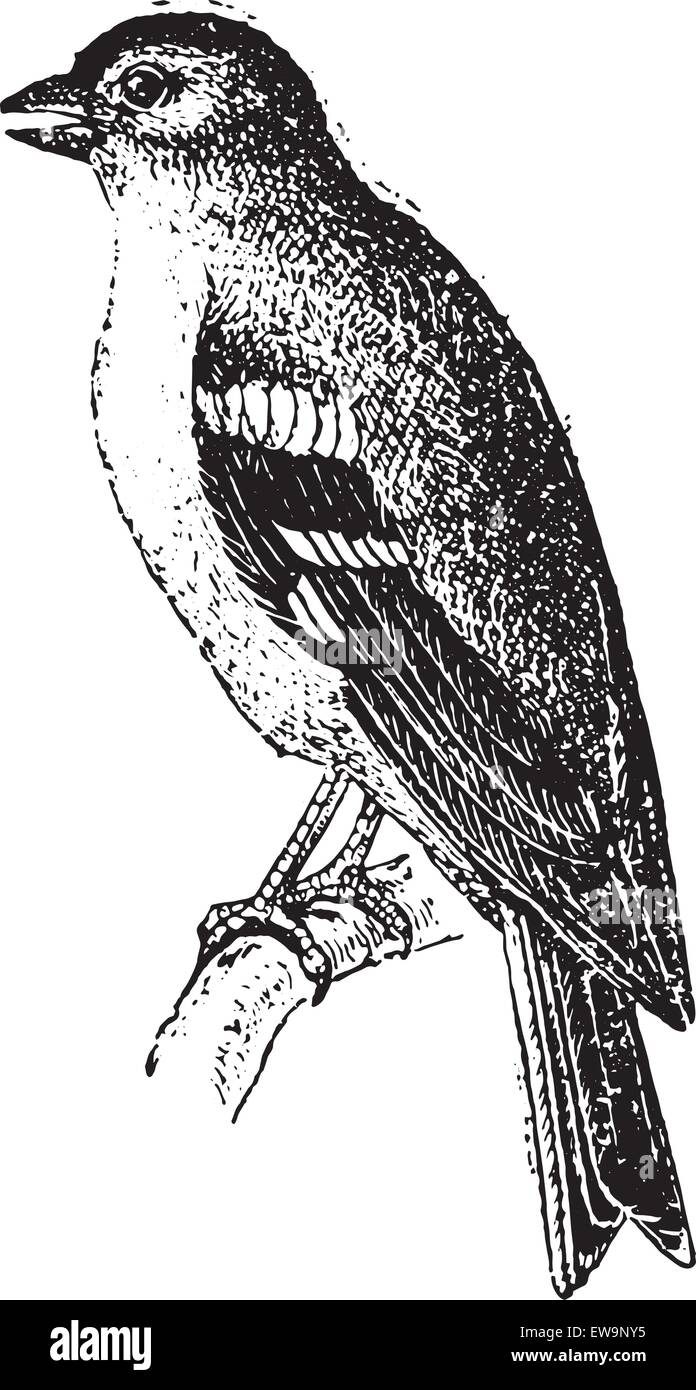 Finch, vintage engraved illustration. Dictionary of words and things - Larive and Fleury - 1895. - Stock Image