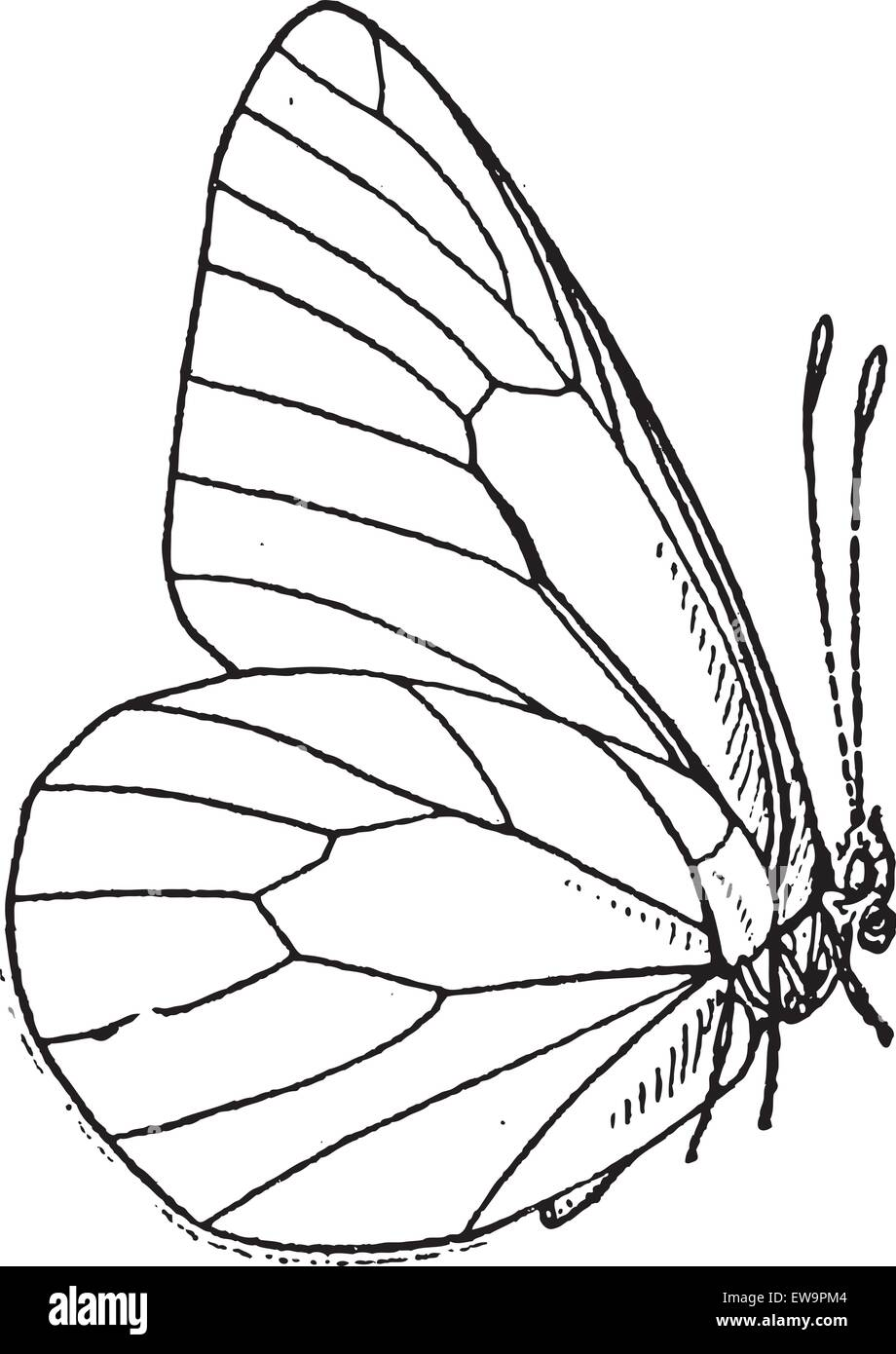 Lepidopteran or Lepidoptera, vintage engraved illustration. Dictionary of Words and Things - Larive and Fleury  - Stock Image