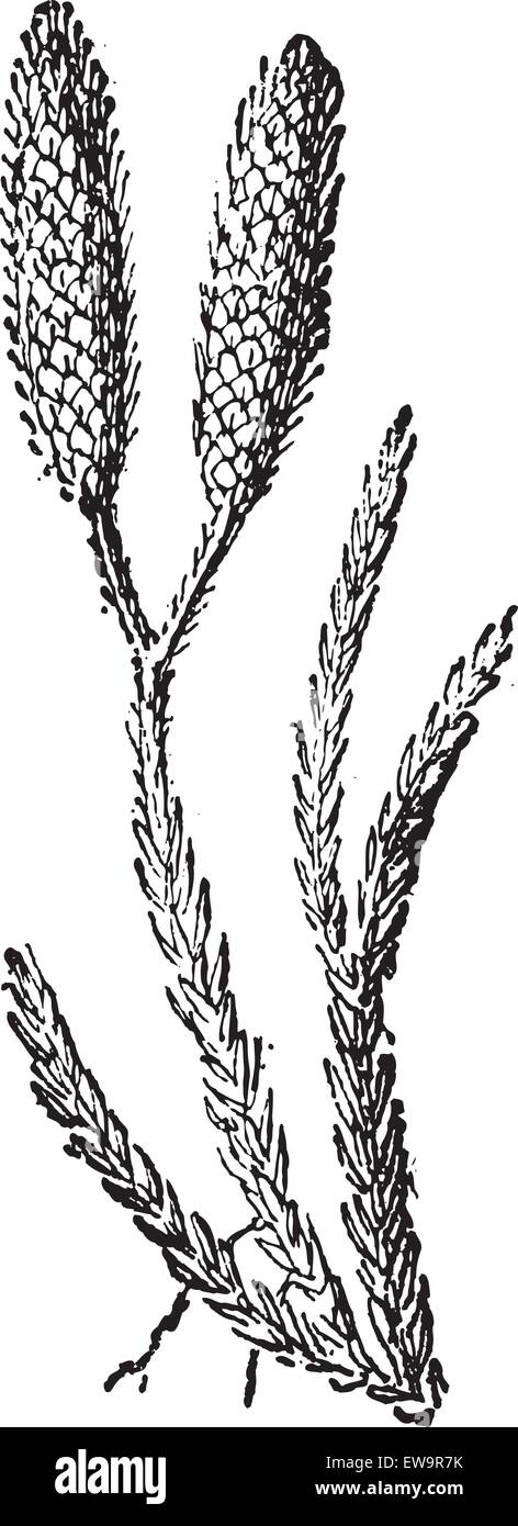 Ground Pine or Lycopodium sp., vintage engraved illustration. Dictionary of Words and Things - Larive and Fleury Stock Vector
