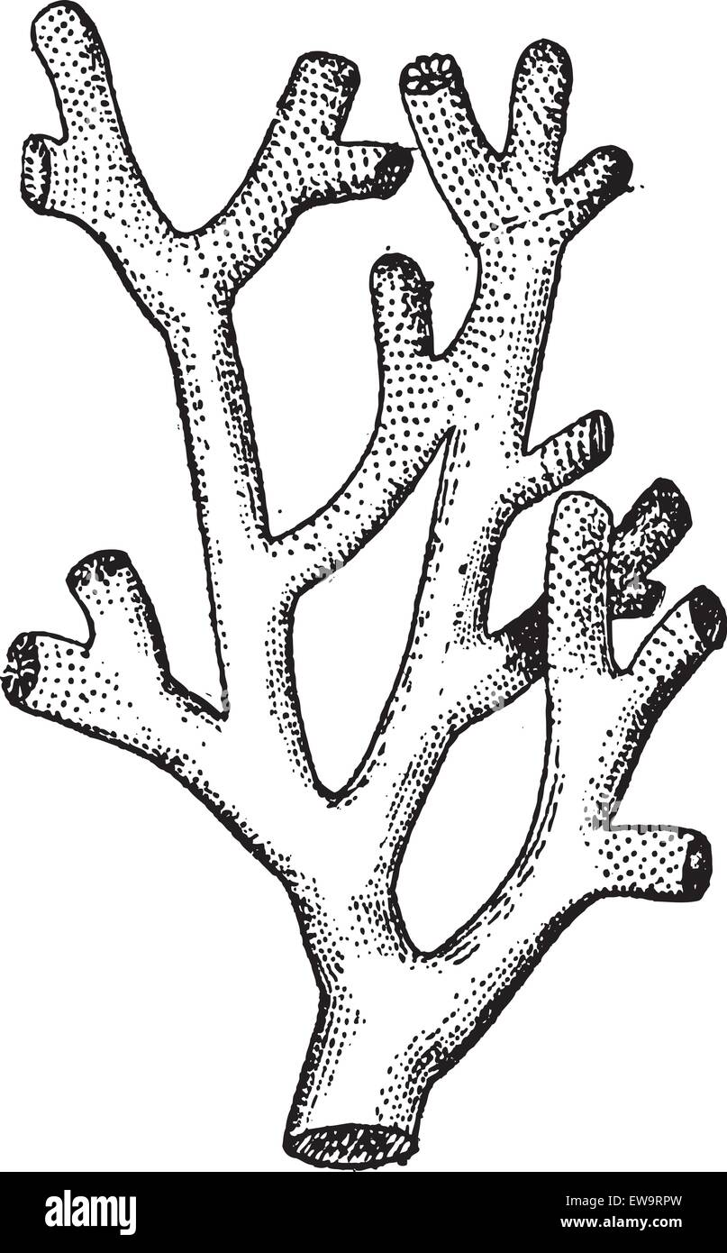 Fire Coral or Millepora sp., vintage engraved illustration. Dictionary of Words and Things - Larive and Fleury - Stock Image