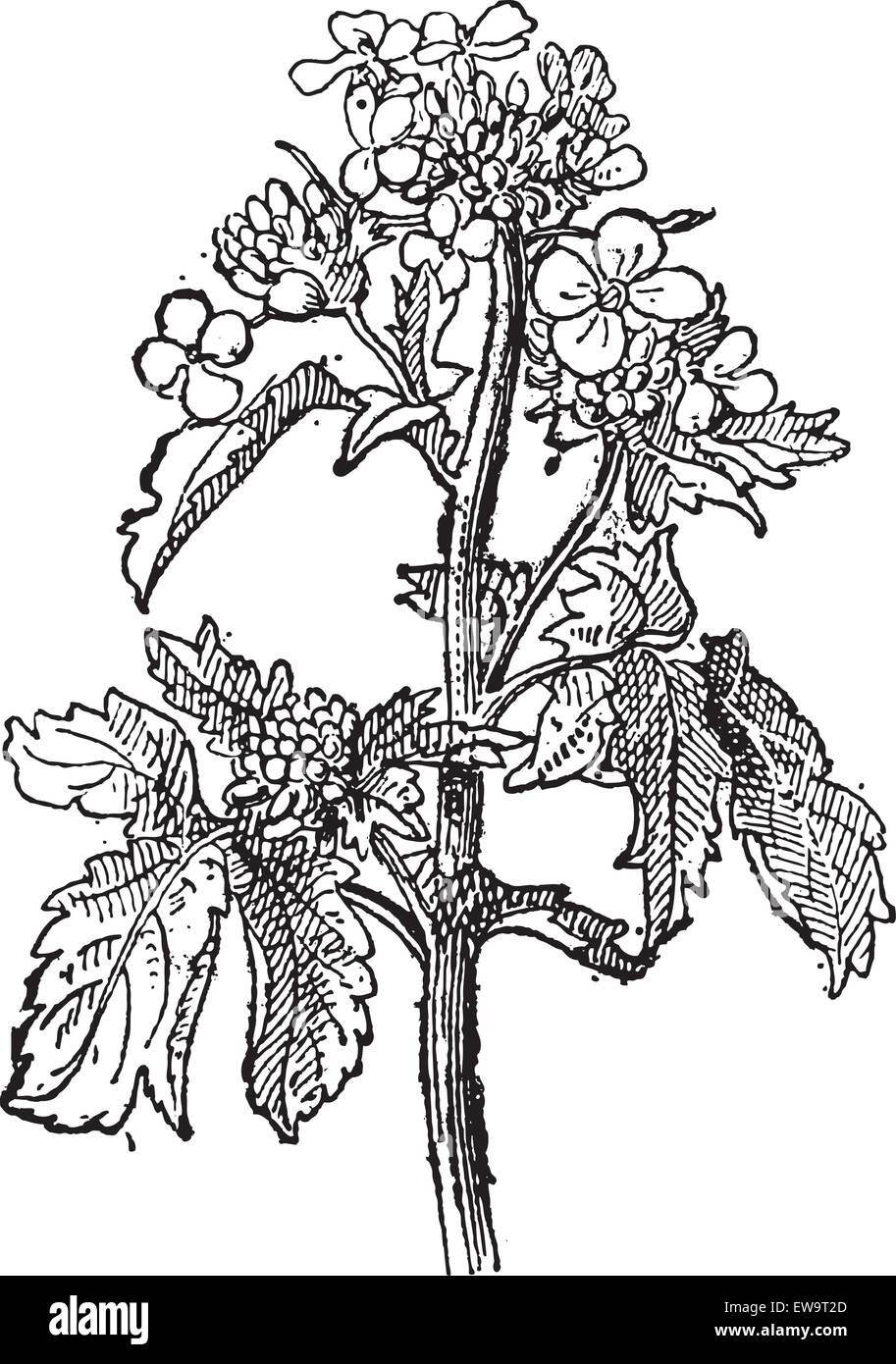 Mustard, Sinapis sp., or Brassica sp., showing flowers, vintage engraved illustration. Dictionary of Words and Things - Stock Image