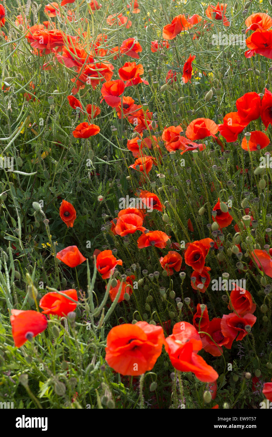 Field Of Poppies The Symbol Of The Great Loss And Suffering Of