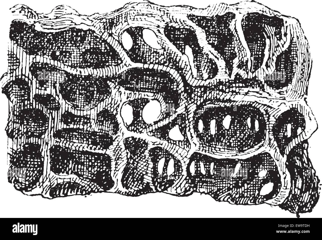 Nest of Ant or Formicidae, cross-section, showing eggs, vintage engraved illustration. Dictionary of Words and Things Stock Vector
