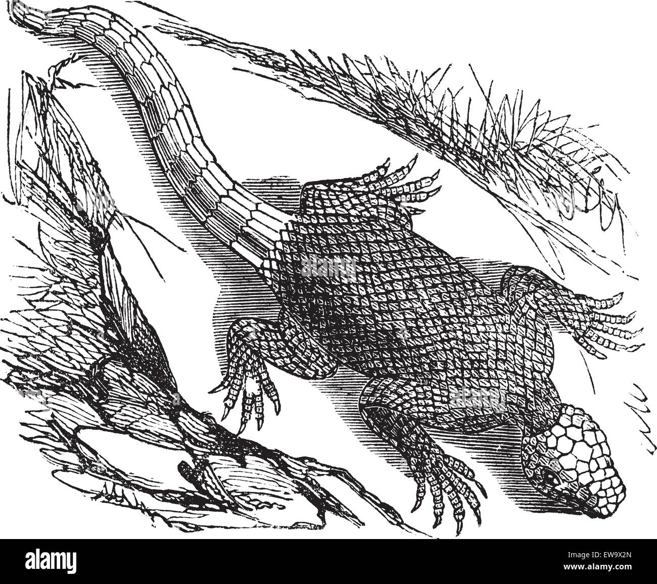 West african spinous lizard or Agama colonorum engraving or vintage illustration. From the reptilia agamidae family. - Stock Image
