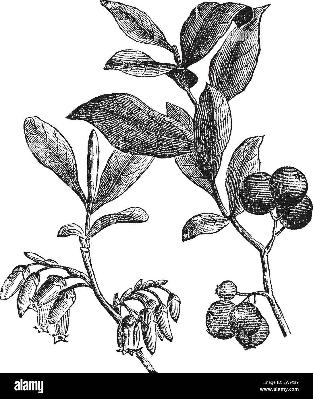Huckleberry or Gaylussacia resinosa engravin. Old vintage engraved illustration of huckleberry plant. The huckleberry - Stock Image