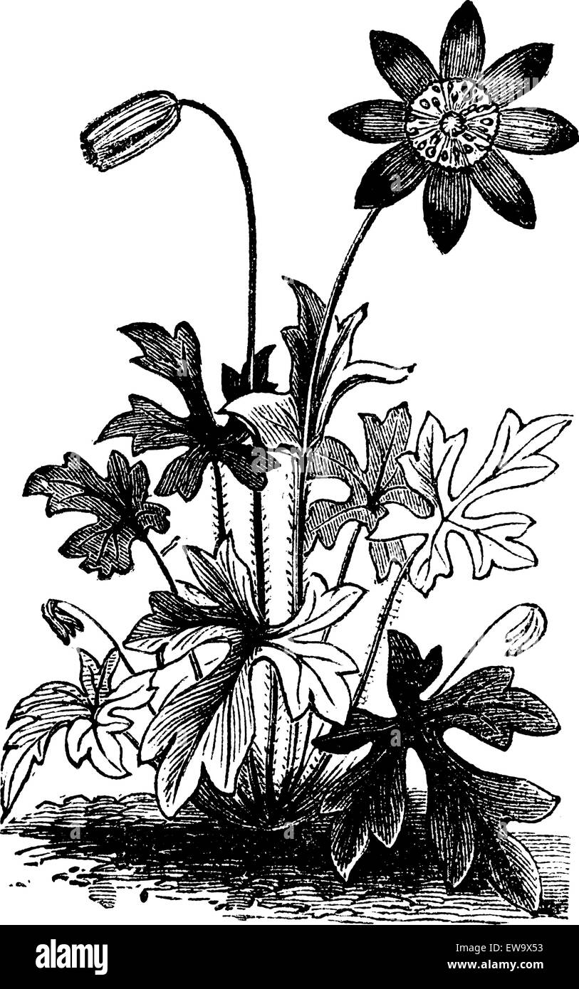 Anemone hortensis or Fior di Stella flower vintage engraving. Vector engraved illustration from 1890. - Stock Vector
