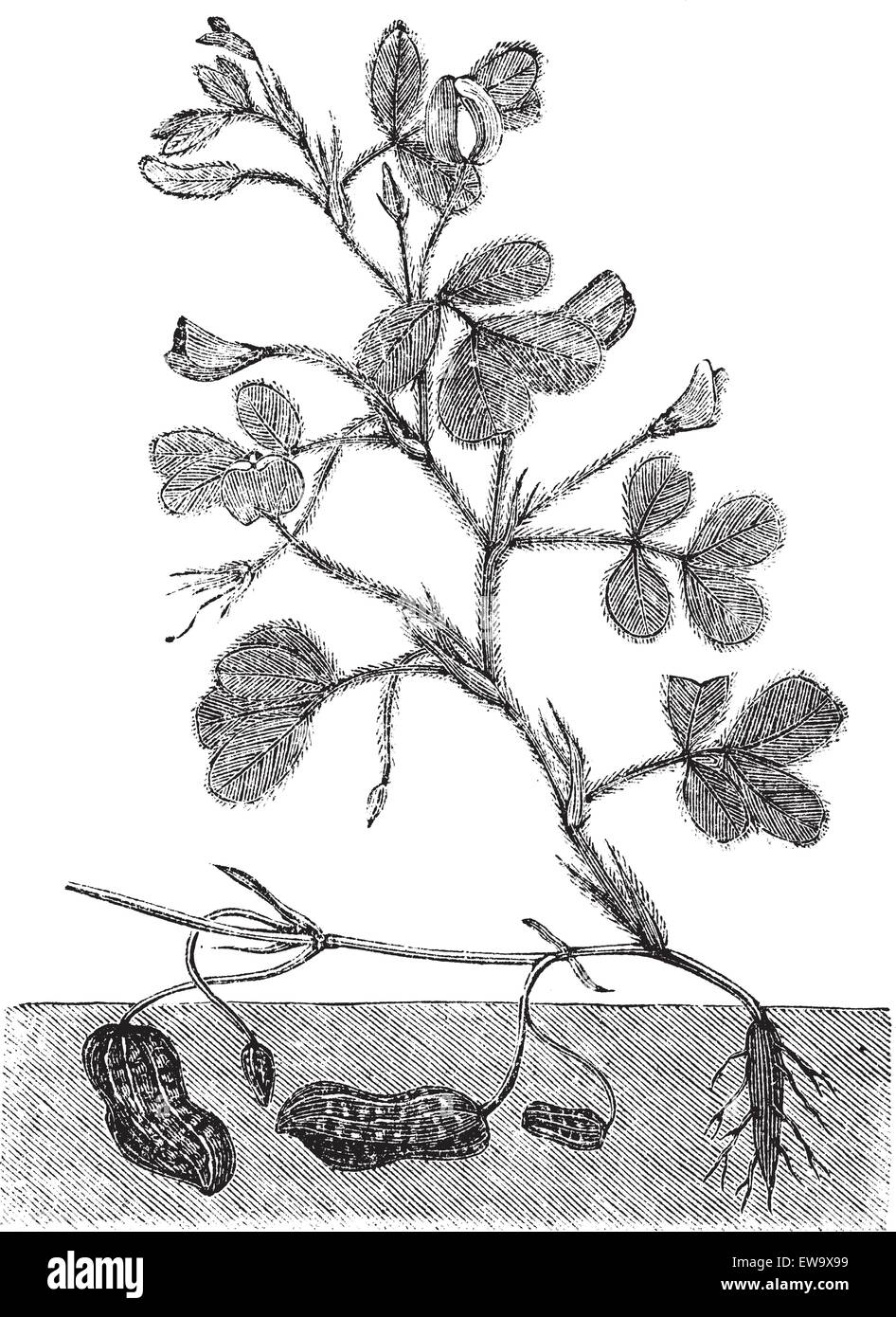 peanut or groundnut or arachis hypogea vintage engraving  old engraved  illustration of a peanut plant showing legumes underground