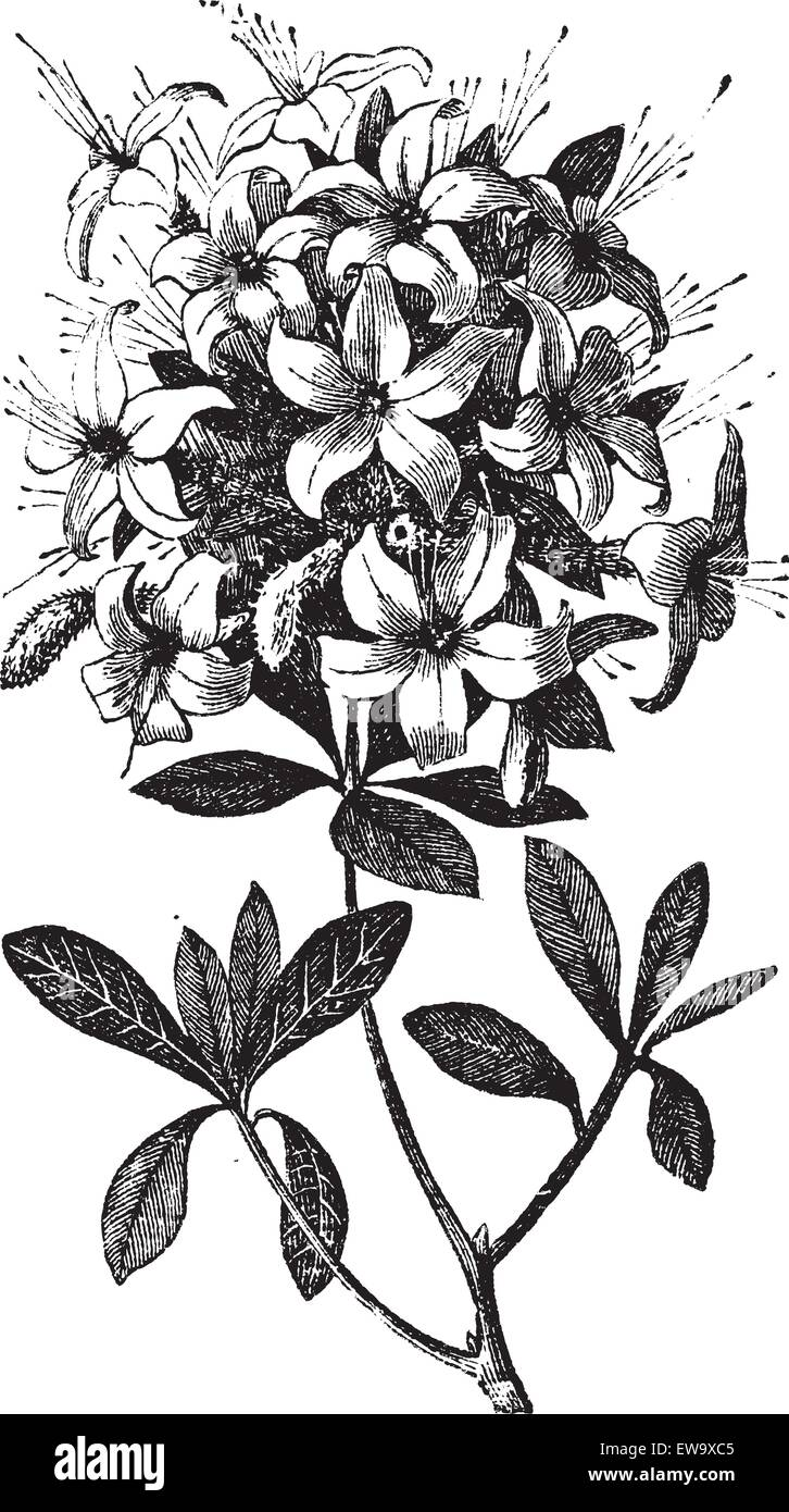 Azalea or Rhododendron sp, or azalea viscosa., vintage engraving. Old engraved illustration of an Azalea plant showing - Stock Vector