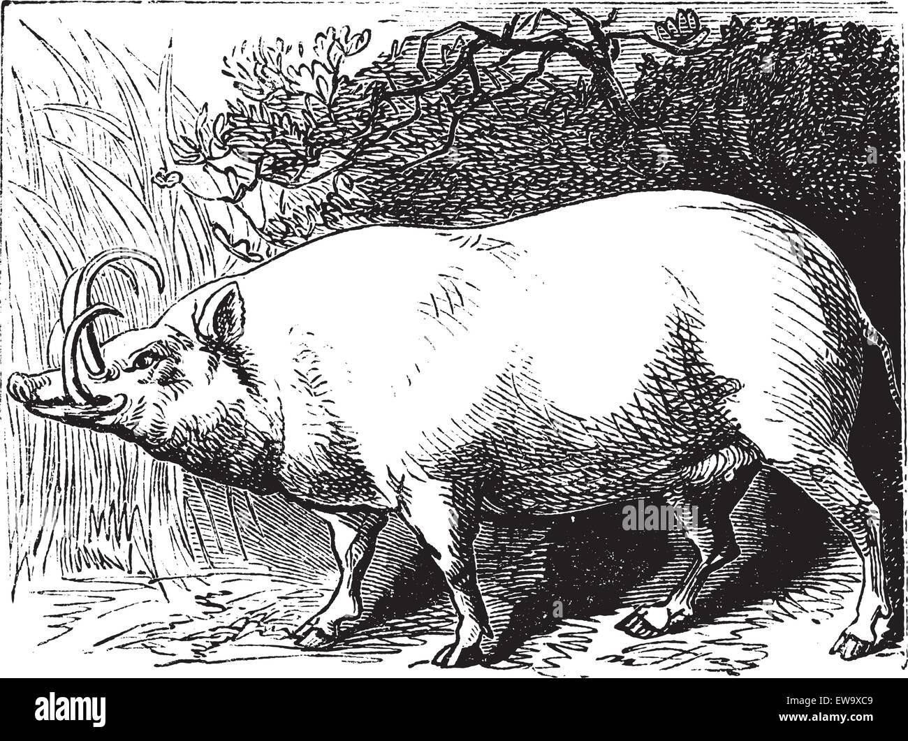 The Babirusa, Babyrousa, Buru babirusa or Pig-deer. Vintage engraving. Old engraved illustration of a a pig-deer - Stock Vector