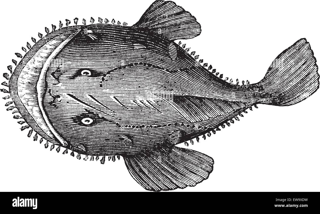 The American anglerfish, Goosefish, All-mouth, Fishing frog or Lophius americanus. Vintage engraving. Old engraved - Stock Vector