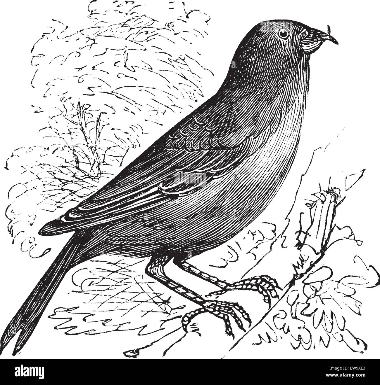 The Common Crossbill , Red Crossbill or Loxia curvirostra. Vintage engraving. Old engraved illustration of a Common - Stock Vector